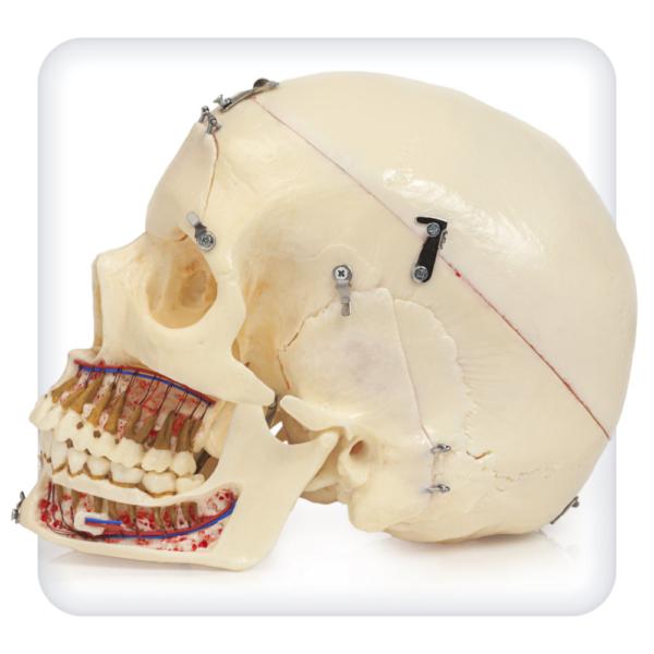 Модель черепа, состоящая из 10 частей
