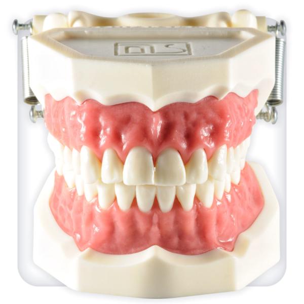 Демонстрационная модель зубочелюстного аппарата взрослого человека с интактными зубами и розовой десной
