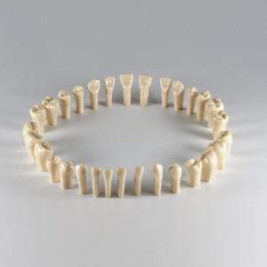 Комплект из 28 интактных зубов