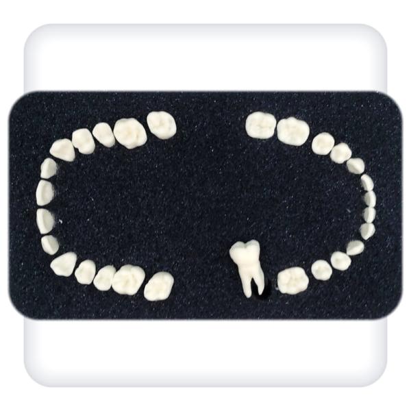 Комплект зубов к дентоальвеолярной модели из 28 зубов для стоматологического симулятора «Леонардо»