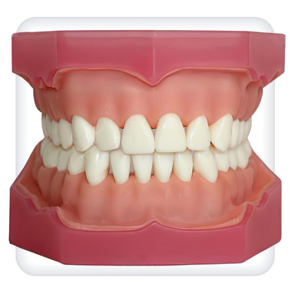 Модель верхней и нижней челюстей с 32 интактными зубами для анестезии