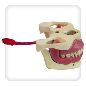 Модель верхней и нижней челюстей с 28 интактными зубами для проведения проводниковой анестезии
