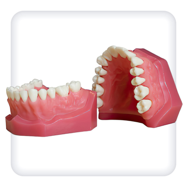 Модель верхней и нижней челюстей с 28 интактными зубами для удаления