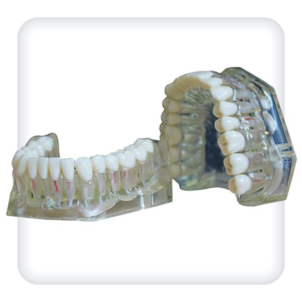 Модель верхней и нижней челюстей с 32 интактными зубами для эндодонтии