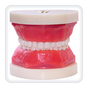 Модель верхней и нижней челюстей с 24 интактными зубами сменного прикуса
