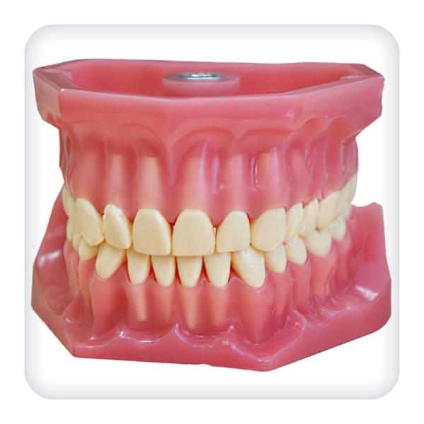 Модель верхней и нижней челюстей с 32 интактными зубами