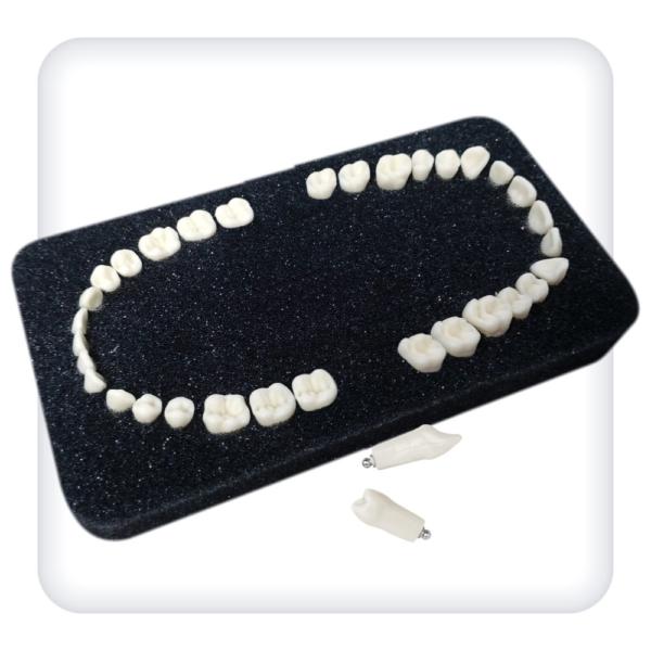 Комплект из 32 модельных зубов