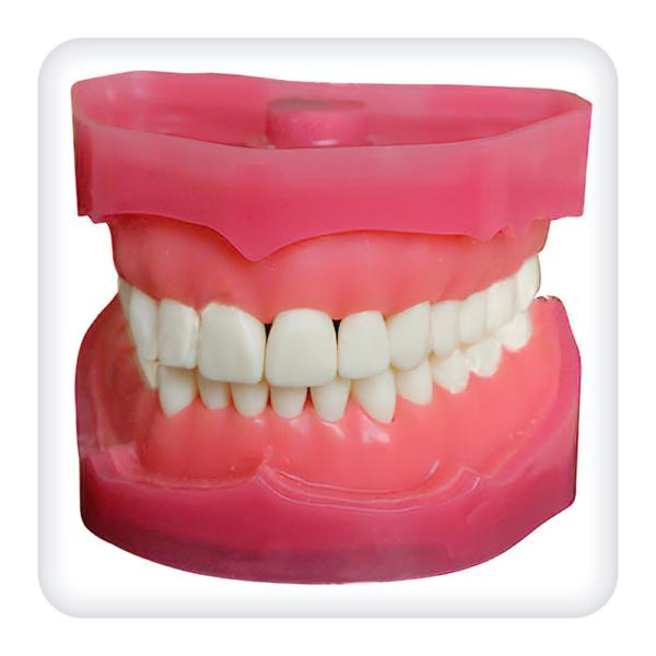 Модель верхней и нижней челюстей с 28 зубами для проведения анестезии